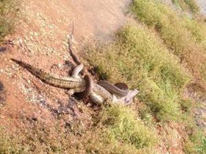 Python vs Crocodile the battle begins