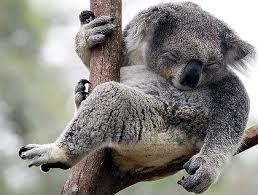 koala image 1