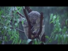 koala in the rain